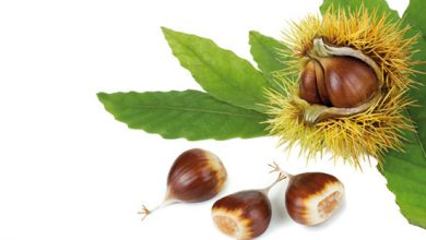Photo of Die Edelkastanien – Maroni  (Castanea sativa)
