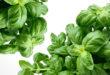 Basilikum – viel mehr als nur ein Küchengewürz